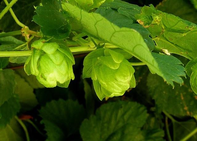 hops-plant-enviromental
