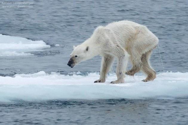 starved-polar-bear